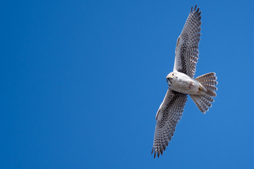 Prairie Falcon Making Direct Eye Contact While Soaring High in a Blue Sky