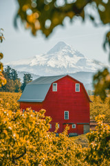Oregon country classic scenic of Mt Hood over red barn framed by foliage
