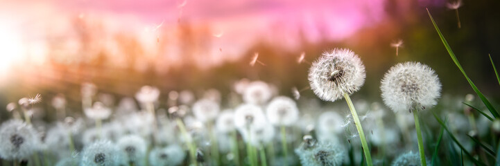 Foto op Canvas Paardenbloem Banner Of Dandelions With Flying Seeds In Field At Sunset