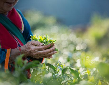 Fresh tea leafs in woman's hand, at tea garden