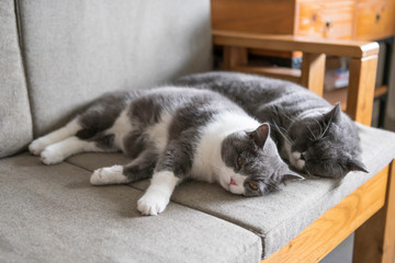 Two british shorthair cats sleeping on the couch