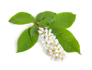 Prunus padus, known as bird cherry, hackberry, hagberry, or Mayday tree. Flowers. Isolated on white background
