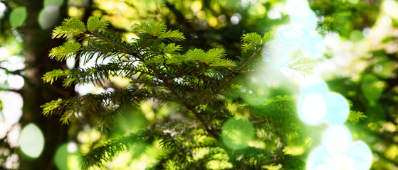 Pineceae family tree abies alba with light bokeh