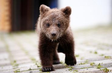 "Orphaned baby bear named ""Aida"" runs in its shelter in Gunjani village near Sarajevo"