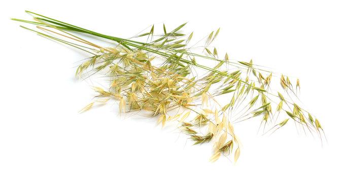 Avena fatua. wild oat. Isolated on white background