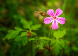 Blütenpflanze, Storchenschnabel, Ruprechts-Storchenschnabel, Geranium Robertianum