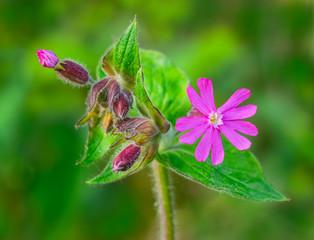 Blütenpflanze, Rotes Leimkraut, Leimkraut, Silene dioica, Rote Nachtnelke, Rote Lichtnelke