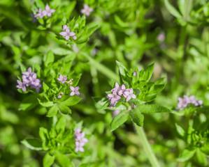 Blütenpflanze, Gemeine Ackerröte, Sherardie arvensis, Rötegewächse