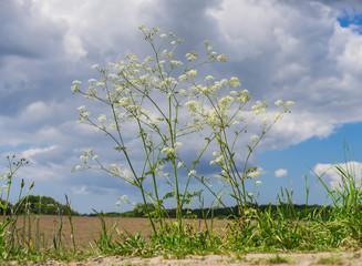 Blütenpflanze, Wiesenkerbel,  Anthriscus sylvestris, Doldengewächse