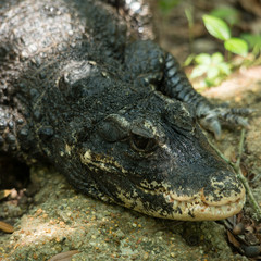 Fototapete - Dwarf Crocodile