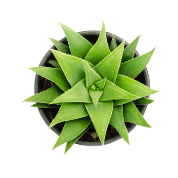 Aloe vera plant isolated on white backgrounds , top view cactus&succulent ,Clipping Path