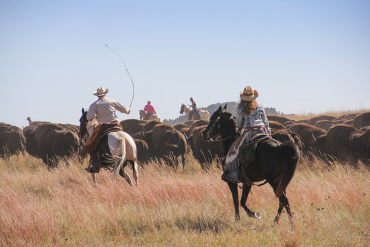 Cowboys and cowgirls rounding up bison during the annual Custer State Park Buffalo Roundup