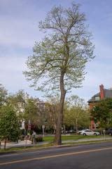 Beautiful Tree, Urban spring scene in Washington DC