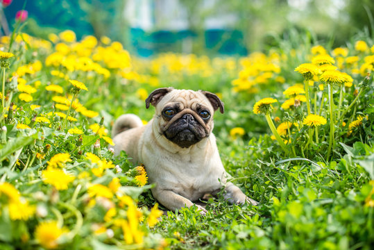 bright yellow carpet of dandelions on the pug