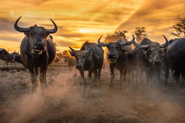 Crowd buffalo in sunset, Nakhon si thammarat in Thailand