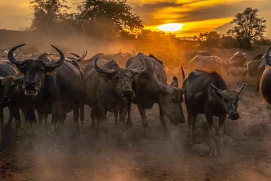 Crowd buffalo in sunset, Nakhon si thammarat in Thailand