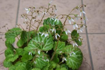Strawberry geranium flowers (Saxifrage stolonifera)