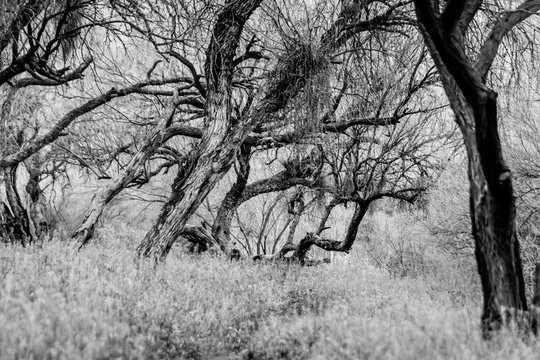 Mesquite trees in Arizona
