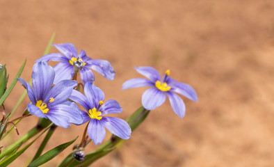 Blue-eyed Grass fllowers against contrasting red dirt background, with copy space