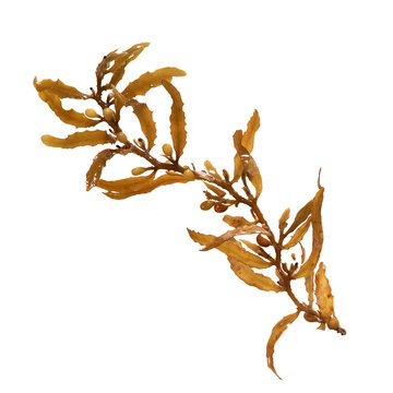 Close-up of Sargassum, showing the air bladders that help it stay afloat. Isolated on white background