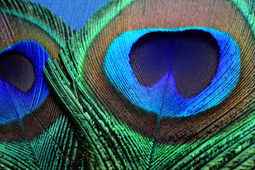 two tail peacock feather on blue background, macro