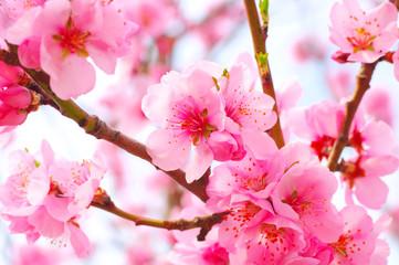 Mandelblüte im Frühling - Almond Blossom in springtime