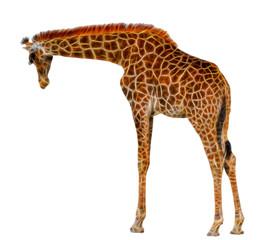 fractal  Giraffe isolated on white background