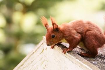 Eichhörnchen Eichhorn Squirrell Rot Orange Fell Tier Portrait Futtersuche Nahrung Wildlife Augen Heimisch Nagetier Nager Nüsse Baum