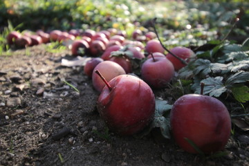 Small red apples in the sun, fallen on the ground from an apple tree in October