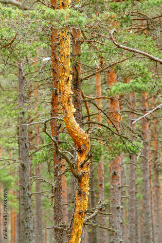 Pine tree trunk in a forest