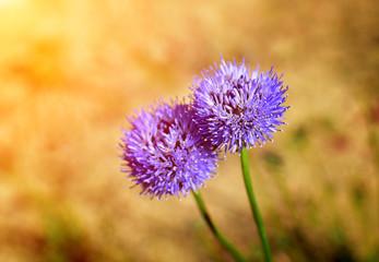 Detail of garlic flower in summer garden with sun rays.