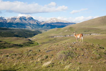 Guanaco from Torres del Paine National Park, Chile