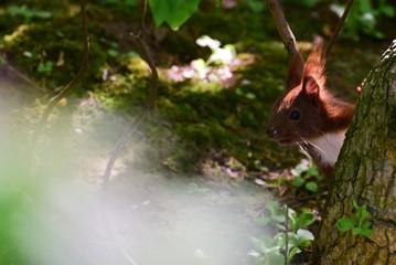 Eichhörnchen Eichhorn Nagetier Nager Baumbewohner Tierportrait flink putzig Futtersuche Nüsse Nagen futtern