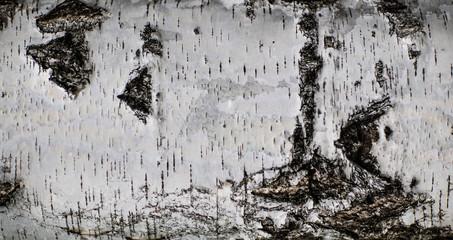 Fototapeta Tekstura z drzewa - brzoza obraz