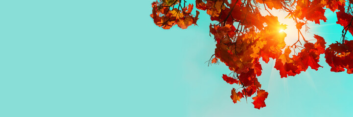 Banner 3:1. Autumn colorful maple leaves. Sky and sunlight through the autumn tree branches from below. Foliage background. Copy space