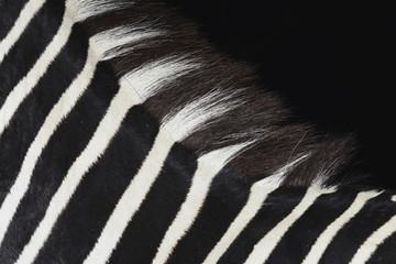 Wall Murals Zebra détail zèbre naturalisé