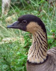 Close up of a nene (Branta sandvicensis) or Hawaiian goose at Kilauea Point National Wildlife Refuge, a bird endemic to Hawaii.