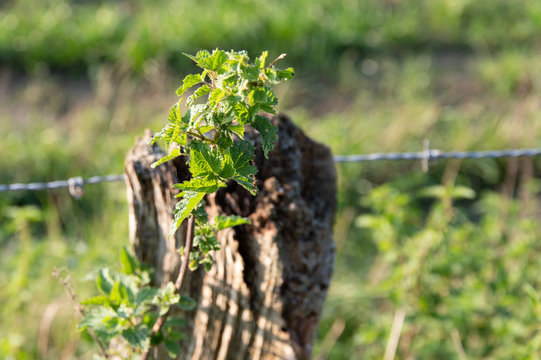 green nettle pole
