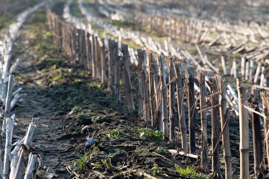 shorted corn field