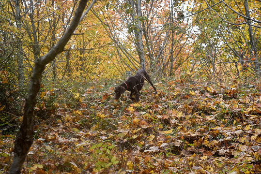 A  truffle dog is looking for a truffle in the forest .
