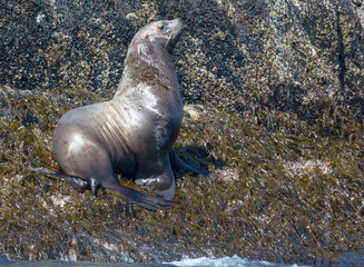 Bull sea lion with nose upraised is surveying its surrounding while standing on wet tidewater seaweed clinging to grey rock
