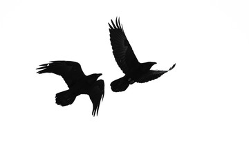 Two Flying Common Ravens Silhouetted on a White Background Wall mural