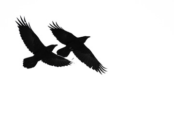 Wall Mural - Two Flying Common Ravens Silhouetted on a White Background