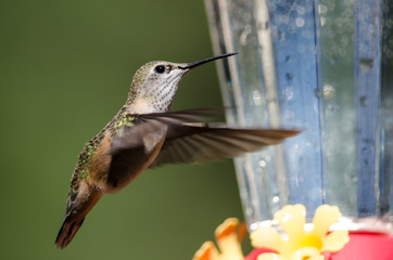 Broad-Tailed Hummingbird Arriving at the Feeder for a Meal
