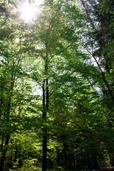 Słońce w koronach drzew pokrytych młodymi, zielonymi liśćmi