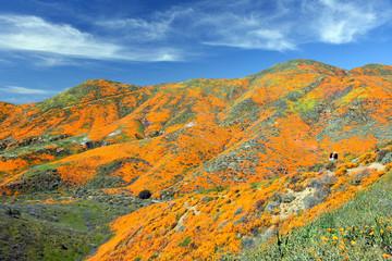 California Wild Flower Super Bloom