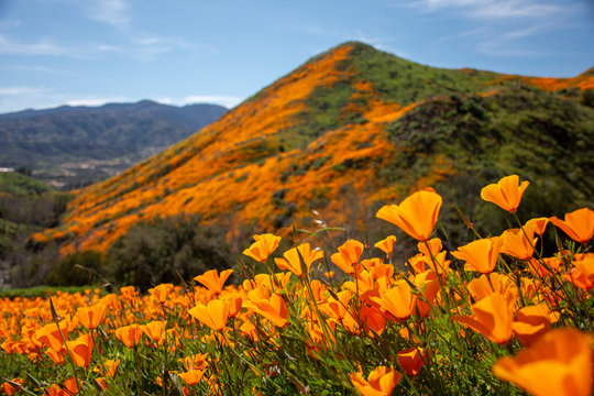 Orange Poppy Super Bloom