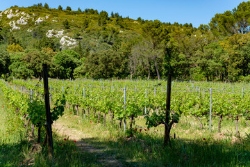 Fototapete - Production of rose, red and white wine in Alpilles, Provence, South of France, vineyard in early summer