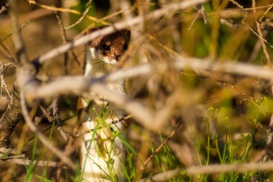 Weasel. Green nature background. Least weasel. Mustela nivalis.