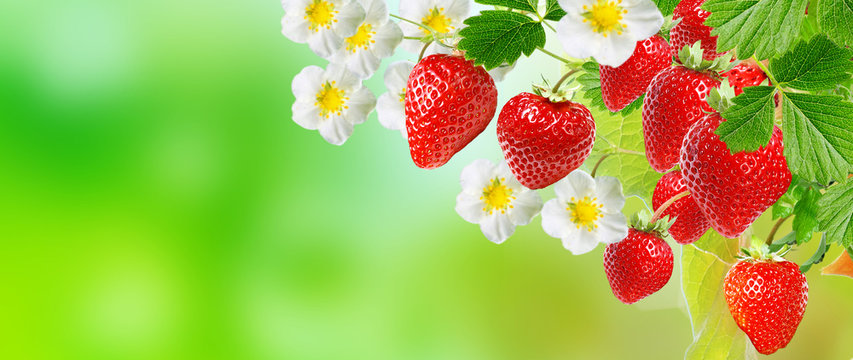 garden strawberries.business agriculture